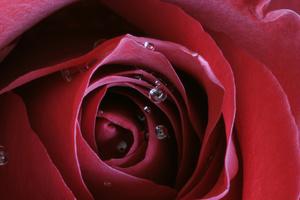 Rose, Aromatherapie, ätherosche Öle, ganzheitlich, ganzheitliche Medizin, komplementär, natürlich, integrative Medizin, natürliche Medizin, integrative Medizin, Duft, Wirkung, Indikation, Anwendung